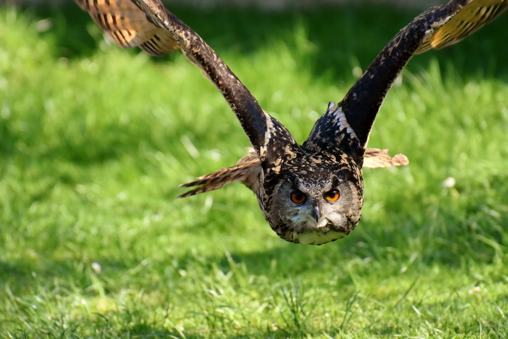 Dreaming about owl: meaning and interpretation